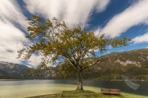 That Tree on Lake Bohinj