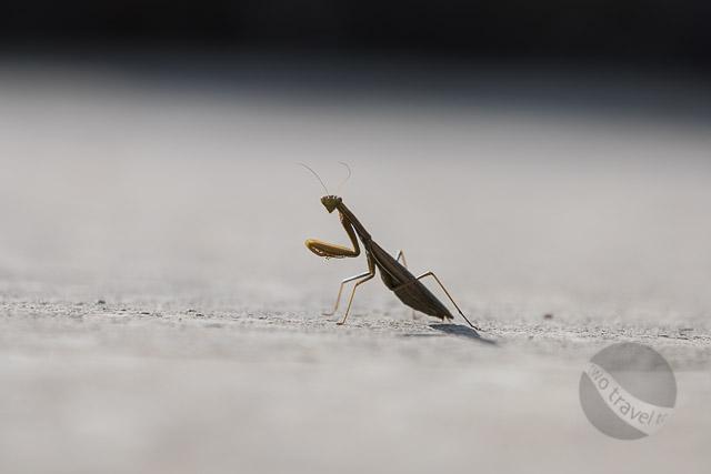 Mantis in Split